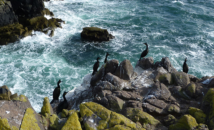 European shags around nest sites on the west cliffs of the Isle of May (photo: Mark Newell)